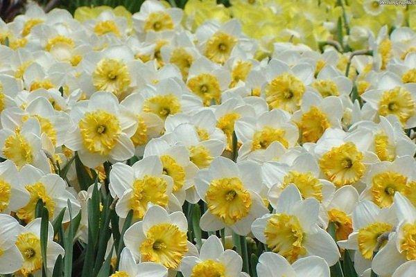 فراوری 360 میلیون شاخه گل نرگس در کشور