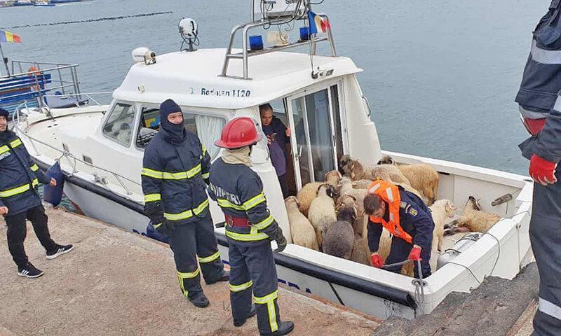 کوشش امدادگران اروپایی برای نجات جان 14600 گوسفند