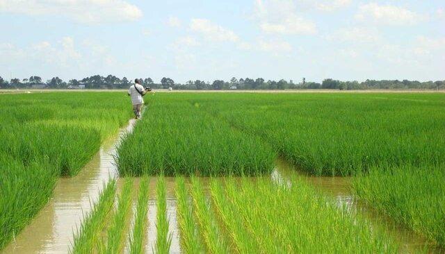 خسارت 50 میلیارد ریالی بارندگی به بخش کشاورزی خراسان رضوی