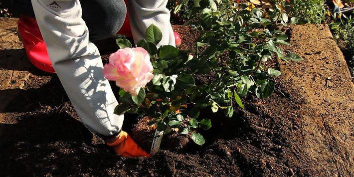 آموزش جامع کاشت، پرورش و تکثیر گل رز در باغچه و گلدان