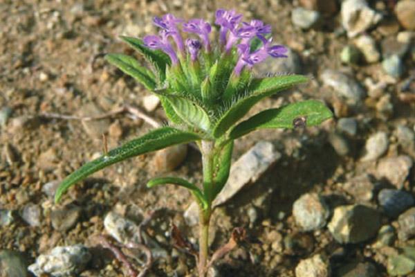 کاشت گیاه دارویی کاکوتی در باغچه و گلدان