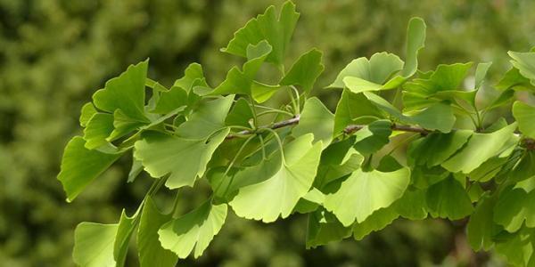 گیاه جینکوبیلوبا چیست و چه خواصی دارد؟